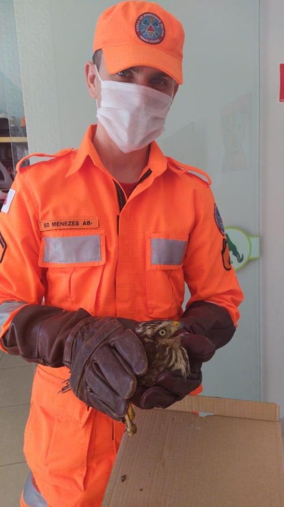 Corpo de Bombeiros de Manhuaçu captura gavião no bairro Lajinha